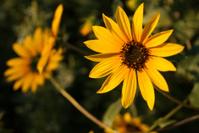Closeup of Sunflowers near Rockville Utah