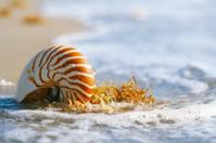 nautilus shell with sea wave,  Florida beach  under the sun