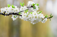 Flowers fruit tree.