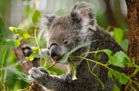 Koala, eating