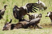 Ruppels griffon vulture