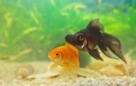 Telescopefish