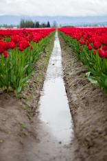 Red Tulips in a Feild