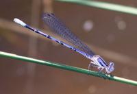 blue damselfly,zygoptera