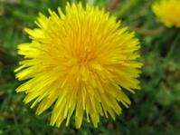 Dandelion flower growing in the grass.