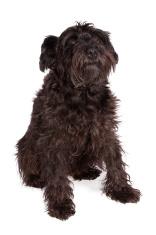 schnauzer dog breed