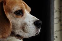 Beagle in the Window