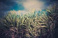 Caribbean sugar cane fileds