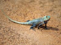 Lizard, Yala, Sri Lanka