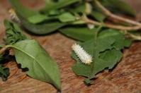 samia cynthia walkeri caterpillar