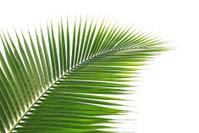 Coconut palm tree leaf