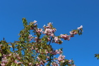 Blooming Japanese cherry tree