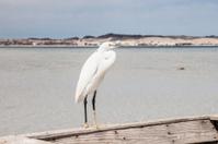 Little egret (egretta garzetta) at wild life