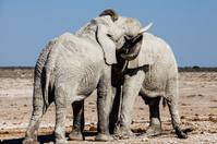 Elephants embrace in the wild
