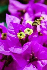 Purple flower with yellow pistil