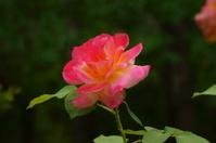 Pale Rose-1