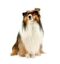 Dog wearing sunglasses.