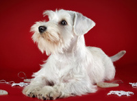 White miniature schnauzer puppy