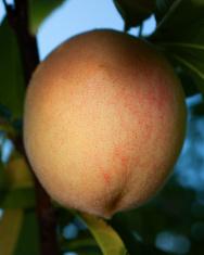 Shady peach