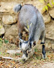 Tiny Gray Goat
