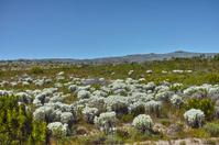 Fynbos in bloom