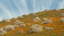 California Poppies On Hillside