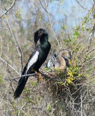 Anhinga Birds