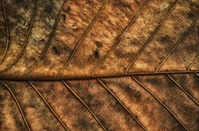 Dry Leaf HDR Style