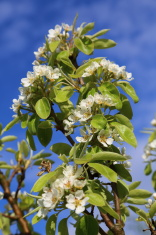 Pear tree blooming flower in the spring