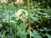 Honeybee on a Clover