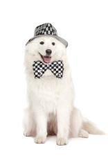 Samoyed 's dog on white background