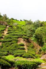 Detail of tea plantation