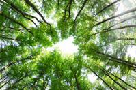 Spring beech forest (fagus sylvatica)