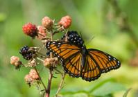 Butterflies & berries