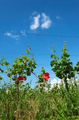 franciacorta vineyards