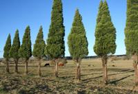 pine tree line