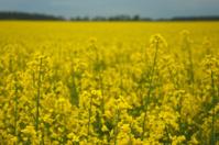 Oilseed rape in a field