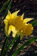 back lit daffodils