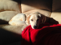 Young Golden Retriever on Sofa Morning Light