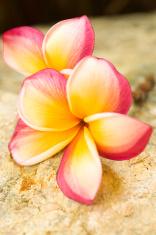 Plumeria close up,sitting on the rocks