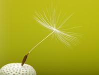 Spring dandelion