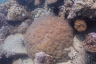Rounded bubblegum coral at Koh Chang, Thailand