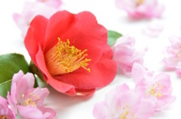 camellia and pink flowers