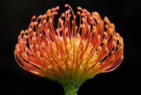Orange pincushion