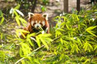 Young lesser panda