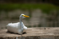 Great Egret, Great White Egret, Great White Hero.