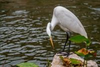 White Egret Perched on Rock in Urban Waterway