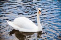 Noble swan.  white swan in blue water