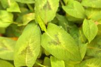 Polygonum Chinense - Chinese Herbal Medicine