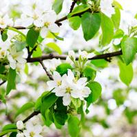 Apple blossom macro
